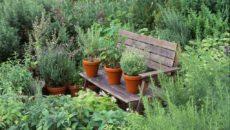 Лекарственные травы на грядках