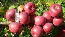 Яблони в Сибири: сорта