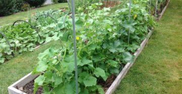 Выращивание огурцов на шпалере на теплой грядке
