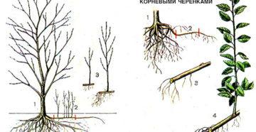 Способы размножения жимолости: черенками, отводками, делением куста, корневой порослью, семенами