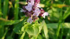 Растения для чая на даче: бадан, душица, мята, мелисса, ромашка, чабрец, кипрей