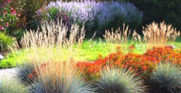 Злаки в саду: особенности композиции, посадки и ухода