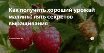 Как получить хороший урожай малины: 5 секретов выращивания