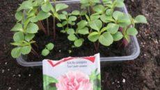 Как вырастить бальзамин из семян в домашних условиях