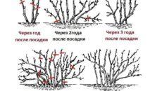Как обрезать смородину: красную и черную