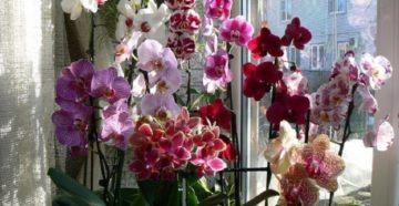 Когда цветет орхидея в домашних условиях