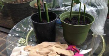 Розы из черенков: выращивание и уход