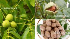 Грецкий орех в Средней полосе: сорта, посадка и уход