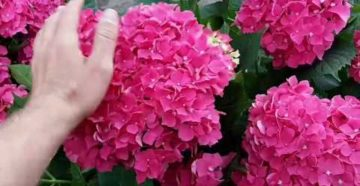 Когда открывать розы и крупнолистную гортензию