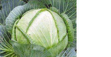 Лучшие сорта и гибриды капусты для Сибири