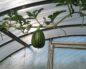 Опыт выращивания арбузов в теплице
