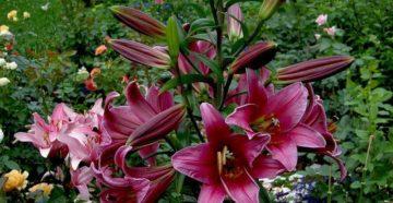 Опыт выращивания ОА-гибридов лилий