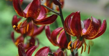 Лилия мартагон: гибриды и сложности выращивания
