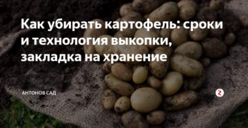 Как убирать картофель: сроки и технология выкопки, закладка на хранение
