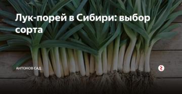 Лук-порей в Сибири: выбор сорта
