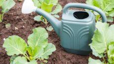 Капуста: полив и подкормка в августе