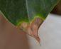 Антуриум листья коричневые пятна