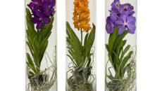 Орхидея ванда уход и выращивание в стеклянной колбе