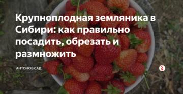 Крупноплодная земляника в Сибири: как правильно посадить, обрезать и размножить