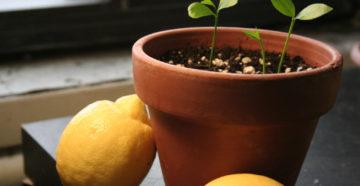 Лимонное дерево – выращиваем дома