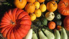 Тыква и кабачок: урожайные сорта и гибриды