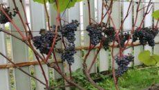 Как вырастить виноград в теплице в Ленинградской области