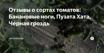 Отзывы о сортах томатов: Банановые ноги, Пузата Хата, Черная гроздь
