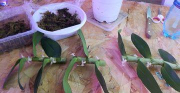 Как размножить орхидею дендробиум детками и черенками